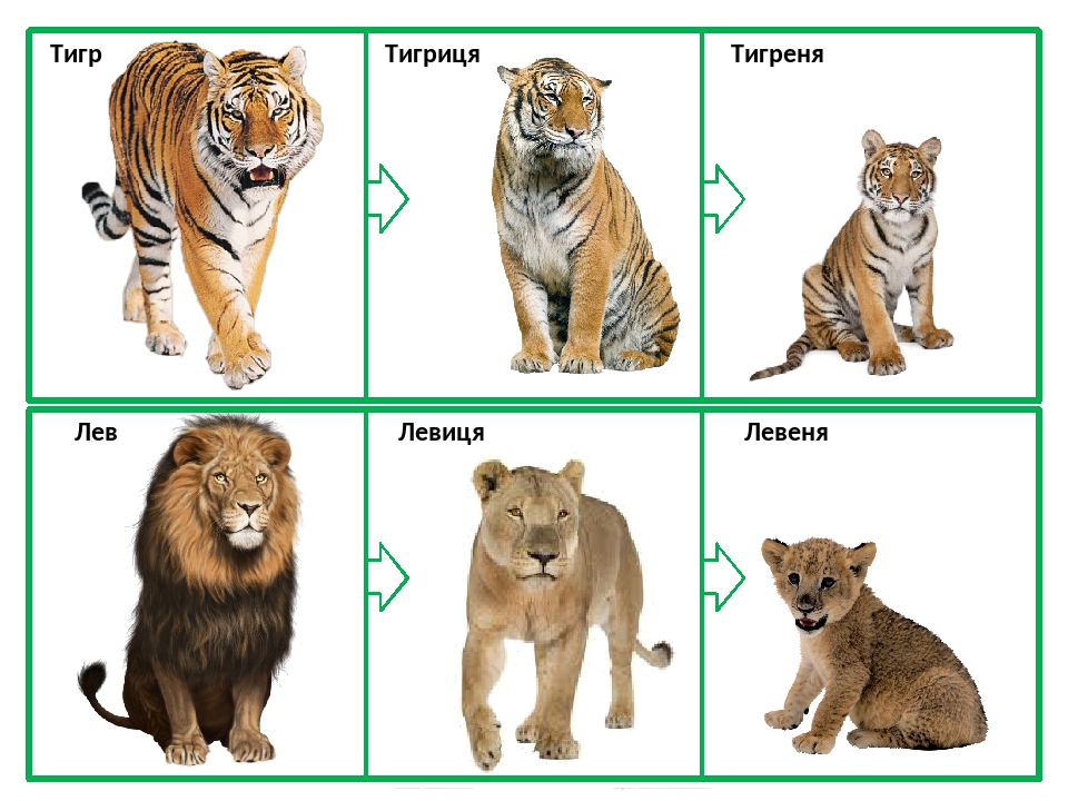 Тигр Тигриця Тигреня Лев Левиця Левеня