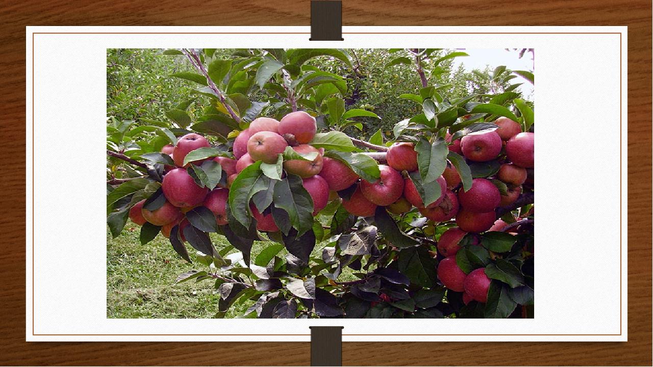 Наука вирощування яблук називається помологія. Цікаво !!!!
