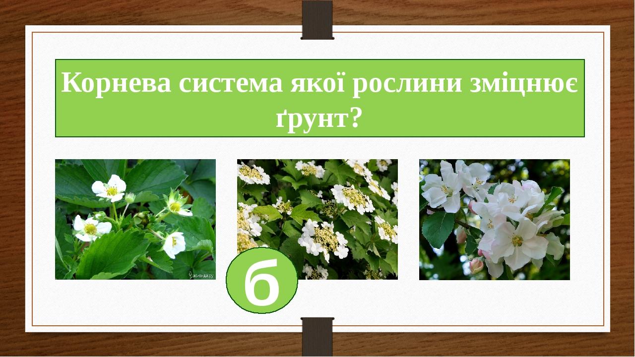 Корнева система якої рослини зміцнює ґрунт? б