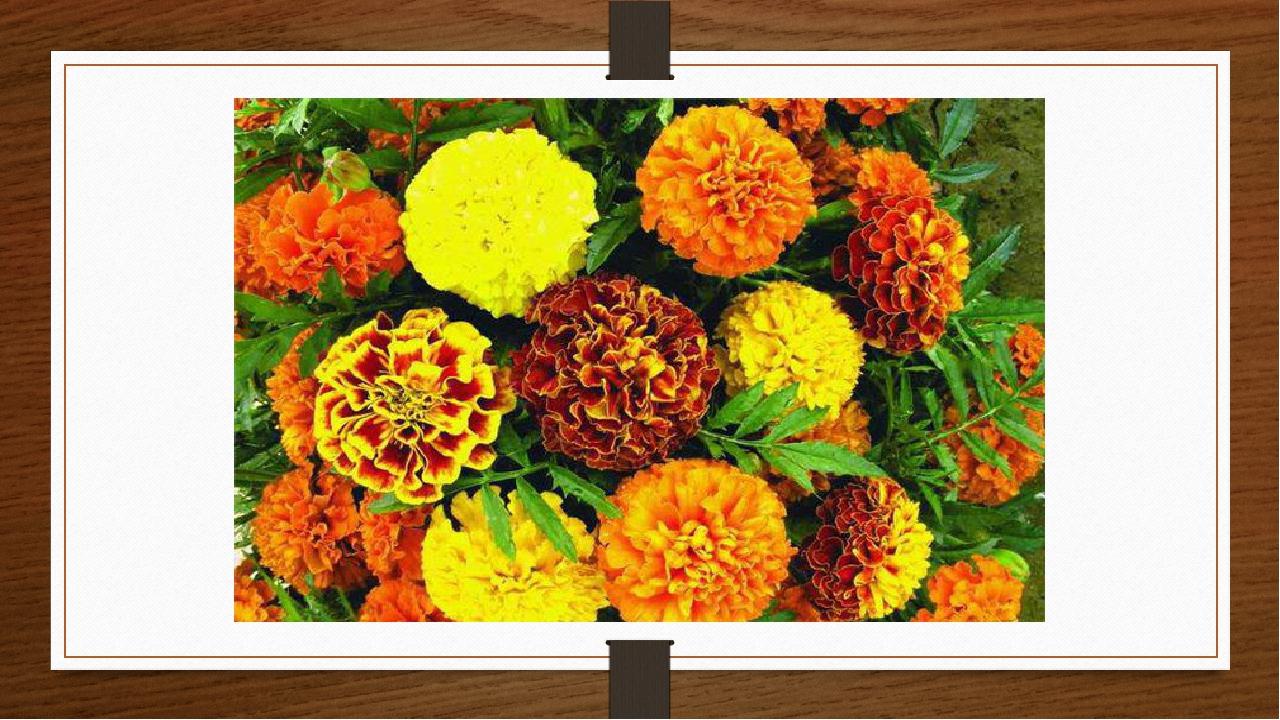 Ці квіти були широко поширені в дикому вигляді від південноамериканських штатів до Аргентини. Цікаво !!!!