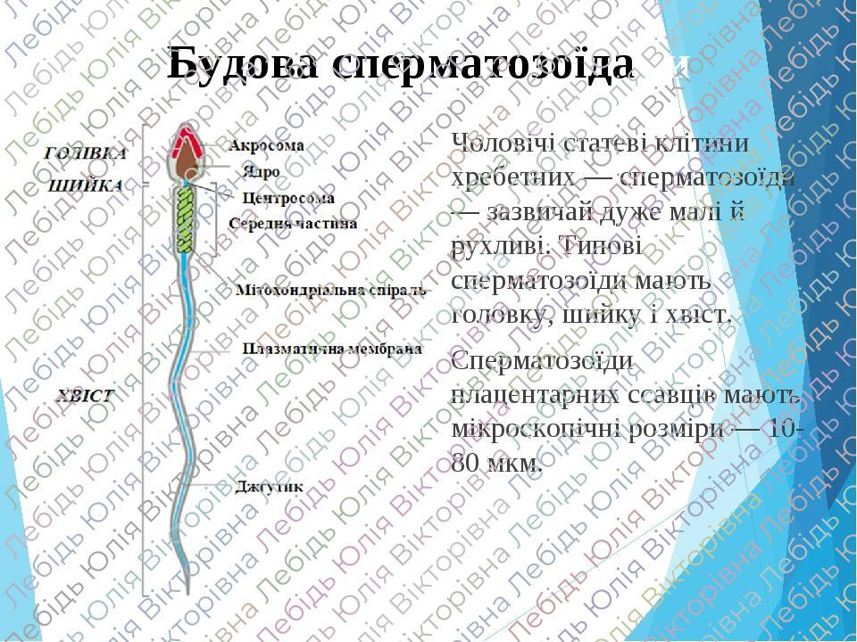 Будова сперматозоїдани Чоловічі статеві клітини хребетних — сперматозоїди — зазвичай дуже малі й рухливі. Типові сперматозоїди мають головку, шийку...