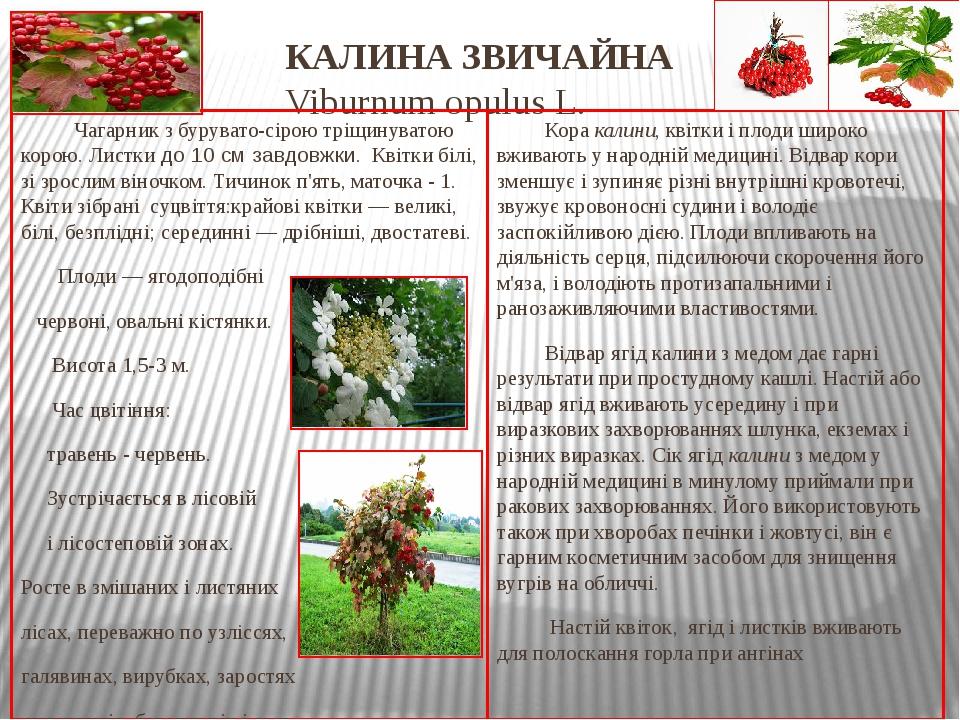 КАЛИНА ЗВИЧАЙНА Viburnum opulus L. Чагарник з бурувато-сірою тріщинуватою корою. Листки до 10см завдовжки. Квітки білі, зі зрослим віночком. Тичин...