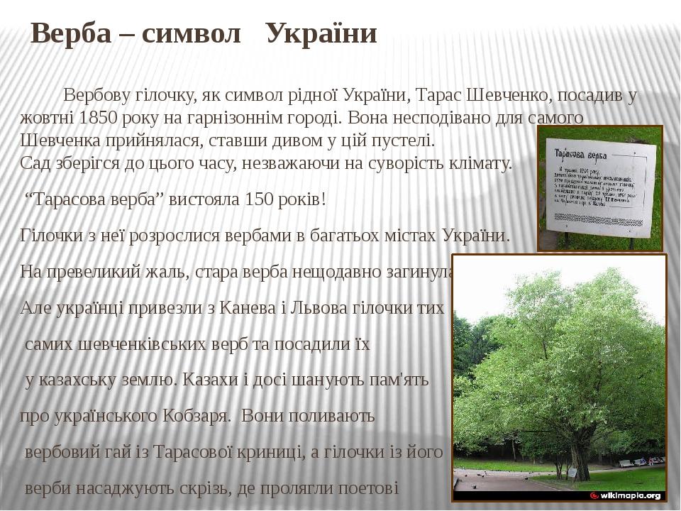 Верба – символ України Вербову гілочку, як символ рідної України, Тарас Шевченко, посадив у жовтні 1850 року на гарнізоннім городі. Вона несподіван...