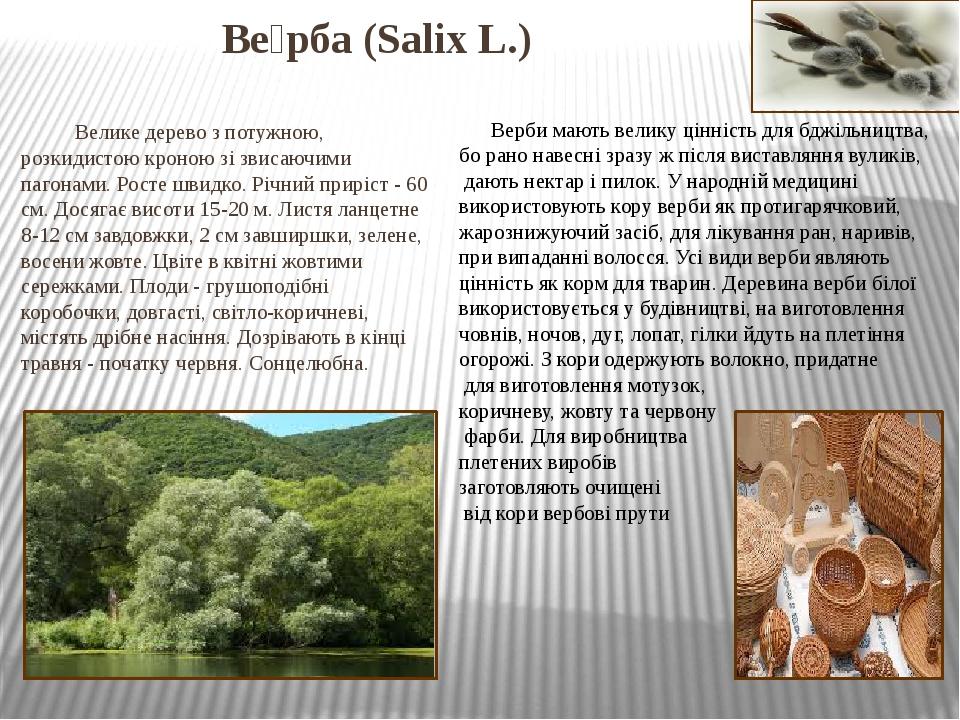 Ве́рба (Salix L.) Велике дерево з потужною, розкидистою кроною зі звисаючими пагонами. Росте швидко. Річний приріст - 60 см. Досягає висоти 15-20 ...