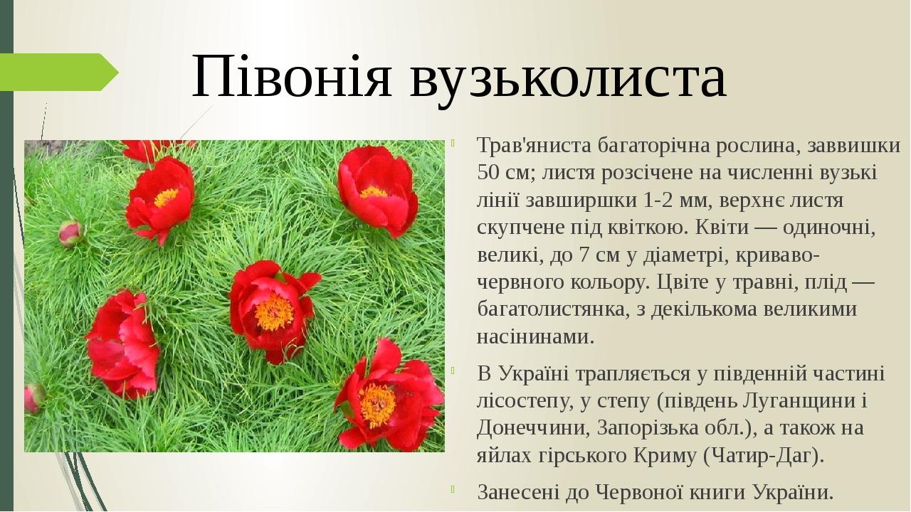 Трав'яниста багаторічна рослина, заввишки 50 см; листя розсічене на численні вузькі лінії завширшки 1-2 мм, верхнє листя скупчене під квіткою. Квіт...