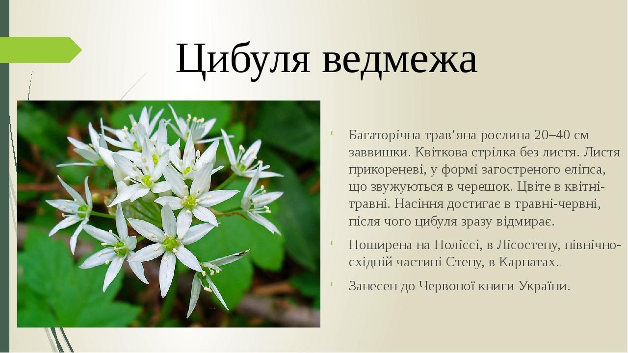 Багаторічна трав'яна рослина 20–40 см заввишки. Квіткова стрілка без листя. Листя прикореневі, у формі загостреного еліпса, що звужуються в черешок...