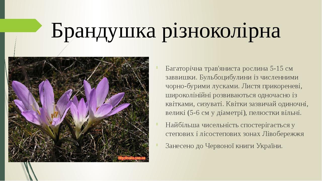 Багаторічна трав'яниста рослина 5-15 см заввишки. Бульбоцибулини із численними чорно-бурими лусками. Листя прикореневі, широколінійні розвиваються ...