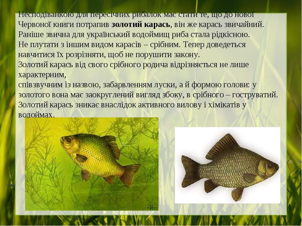 Несподіванкою для пересічних рибалок має стати те, що до нової Червоної книги потрапив золотий карась, він же карась звичайний. Раніше звична для у...