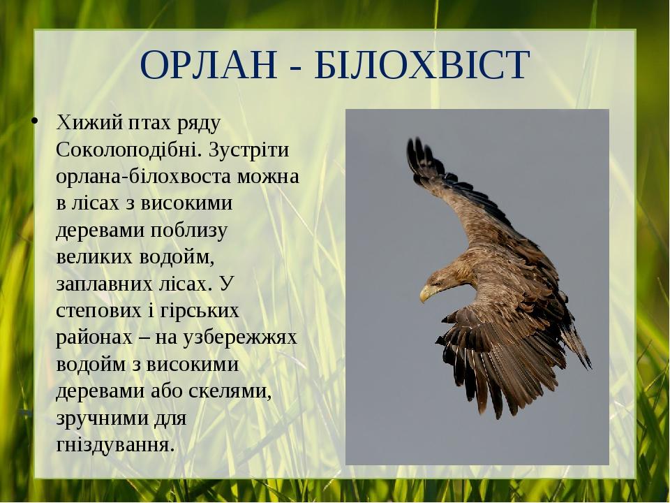 ОРЛАН - БІЛОХВІСТ Хижий птах ряду Соколоподібні. Зустріти орлана-білохвоста можна в лісах з високими деревами поблизу великих водойм, заплавних ліс...