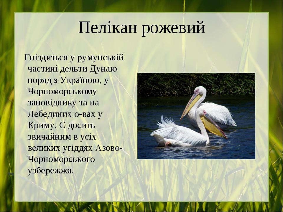 Пелікан рожевий Гніздиться у румунській частині дельти Дунаю поряд з Україною, у Чорноморському заповіднику та на Лебединих о-вах у Криму. Є досить...