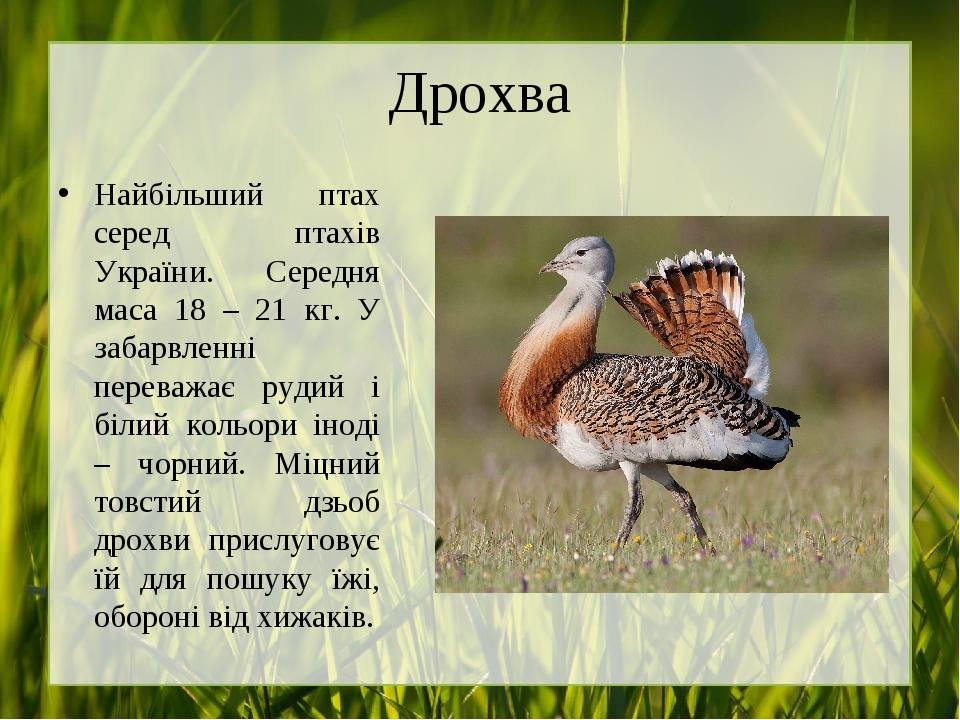 Дрохва Найбільший птах серед птахів України. Середня маса 18 – 21 кг. У забарвленні переважає рудий і білий кольори іноді – чорний. Міцний товстий ...