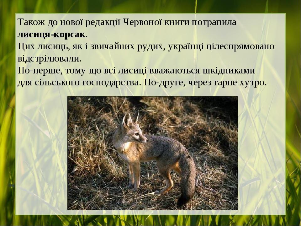 Також до нової редакції Червоної книги потрапила лисиця-корсак. Цих лисиць, як і звичайних рудих, українці цілеспрямовано відстрілювали. По-перше, ...