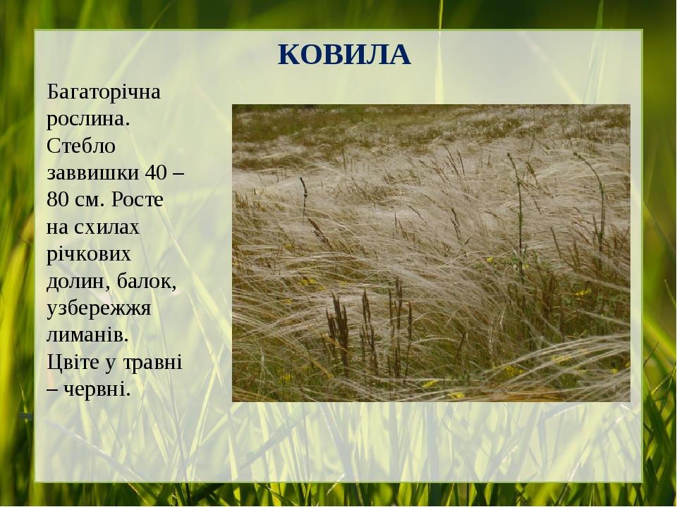 КОВИЛА Багаторічна рослина. Стебло заввишки 40 – 80 см. Росте на схилах річкових долин, балок, узбережжя лиманів. Цвіте у травні – червні.