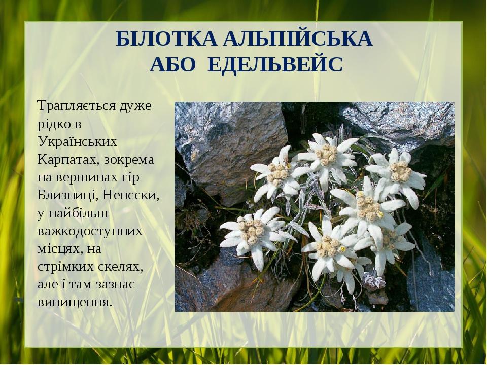 БІЛОТКА АЛЬПІЙСЬКА АБО ЕДЕЛЬВЕЙС Трапляється дуже рідко в Українських Карпатах, зокрема на вершинах гір Близниці, Ненєски, у найбільш важкодоступни...