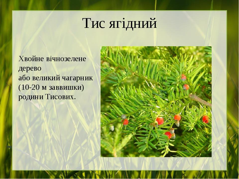 Тис ягідний Хвойне вічнозелене дерево або великий чагарник (10-20м заввишки) родини Тисових.