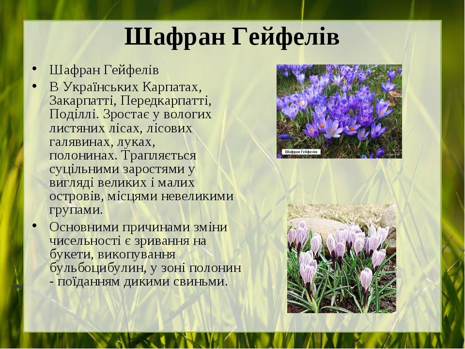 Шафран Гейфелів Шафран Гейфелів В Українських Карпатах, Закарпатті, Передкарпатті, Поділлі.Зростає у вологих листяних лісах, лісових галявинах, лу...