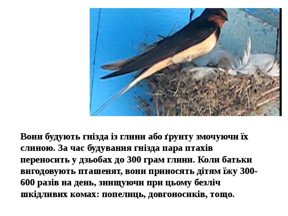 Вони будують гнізда із глини або ґрунту змочуючи їх слиною. За час будування гнізда пара птахів переносить у дзьобах до 300 грам глини. Коли батьки...