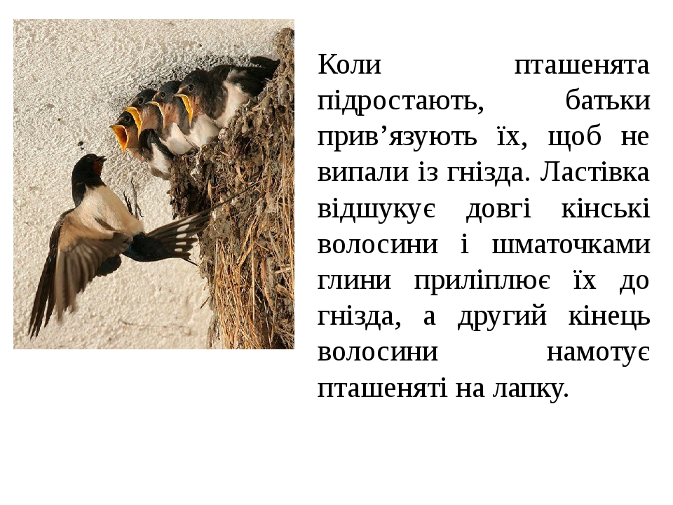 Коли пташенята підростають, батьки прив'язують їх, щоб не випали із гнізда. Ластівка відшукує довгі кінські волосини і шматочками глини приліплює ї...