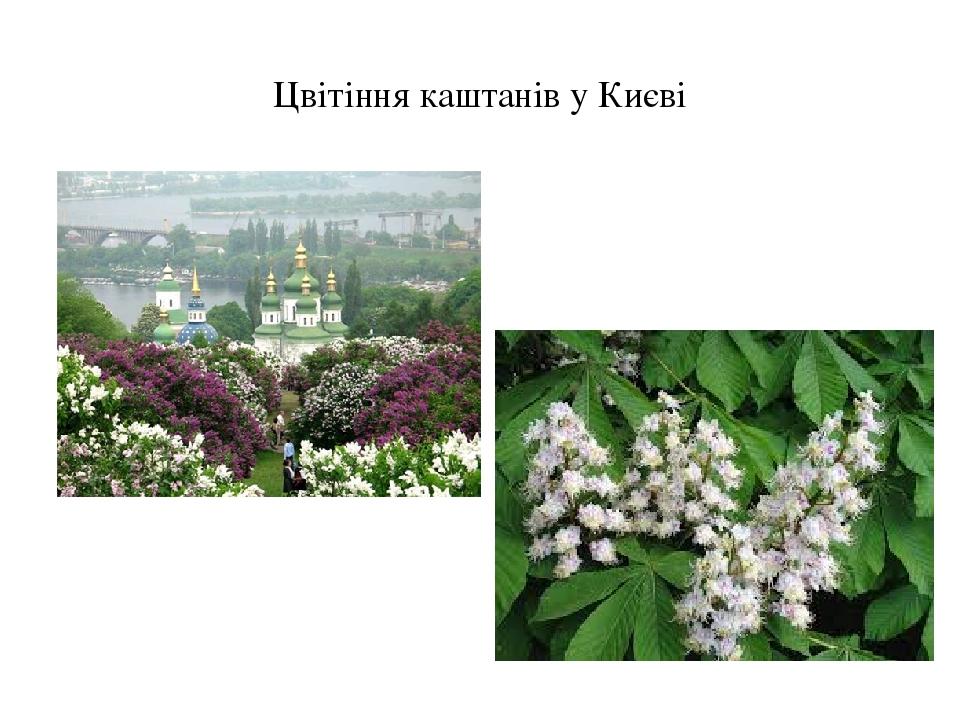 Цвітіння каштанів у Києві
