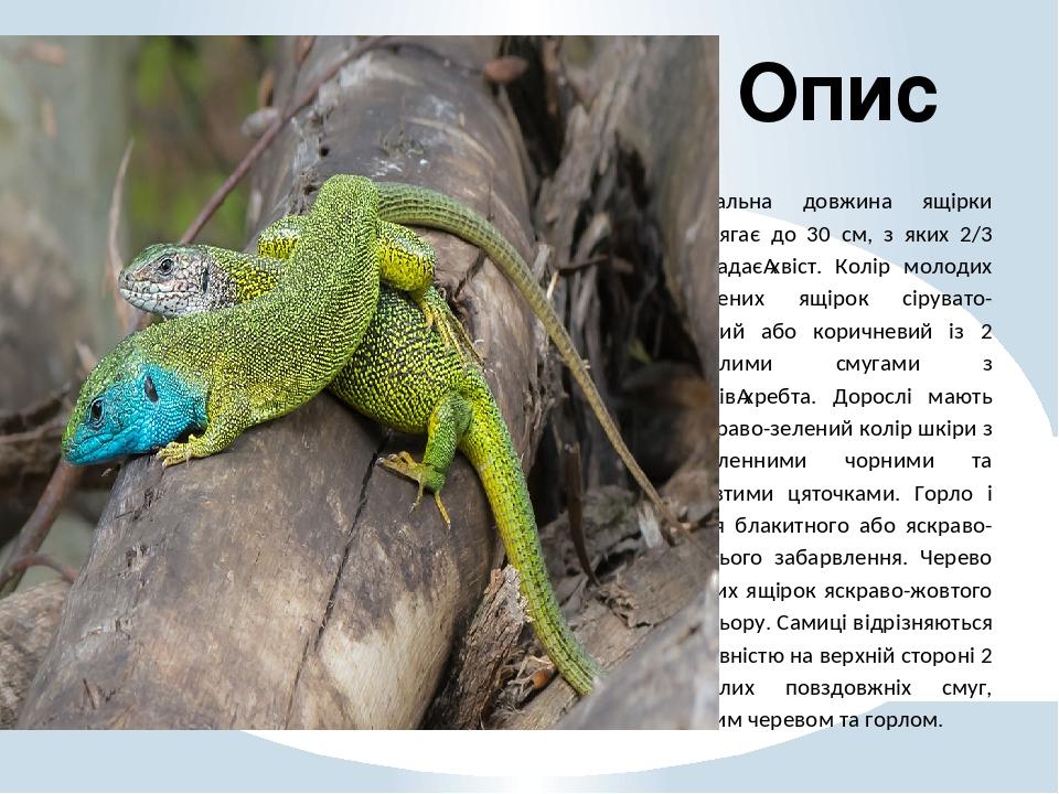 Загальна довжина ящірки досягає до 30 см, з яких 2/3 складаєхвіст. Колір молодих зелених ящірок сірувато-бурий або коричневий із 2 світлими смугам...