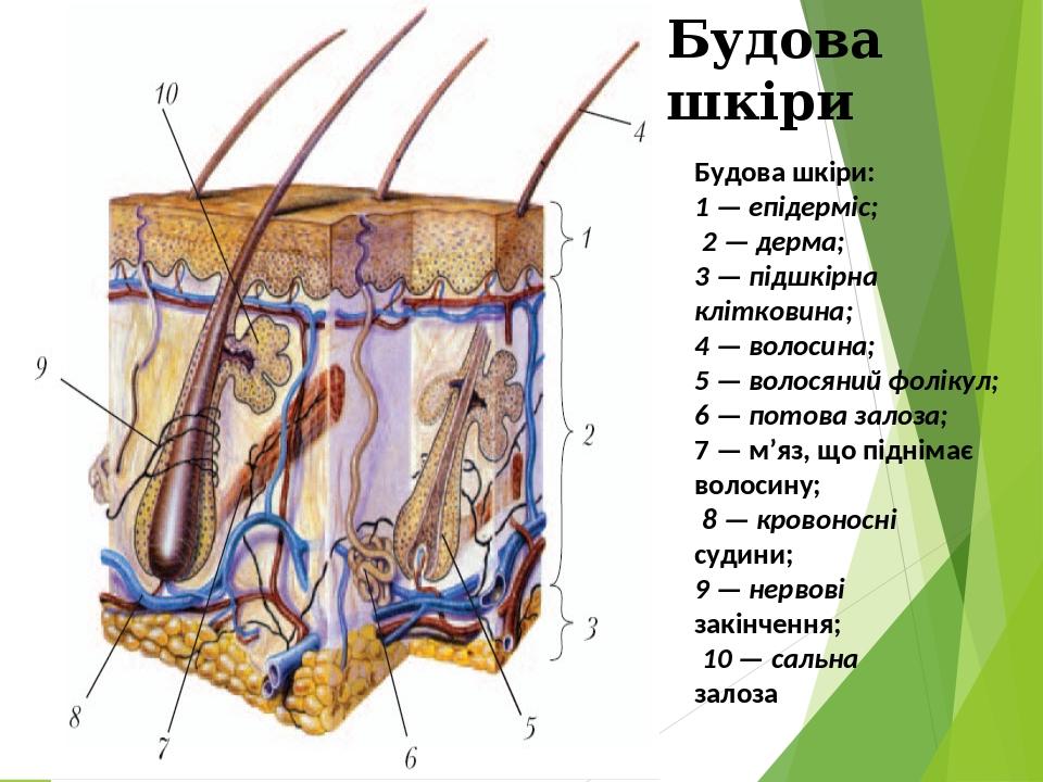 Будова шкіри: 1 — епідерміс; 2 — дерма; 3 — підшкірна клітковина; 4 — волосина; 5 — волосяний фолікул; 6 — потова залоза; 7 — м'яз, що піднімає вол...