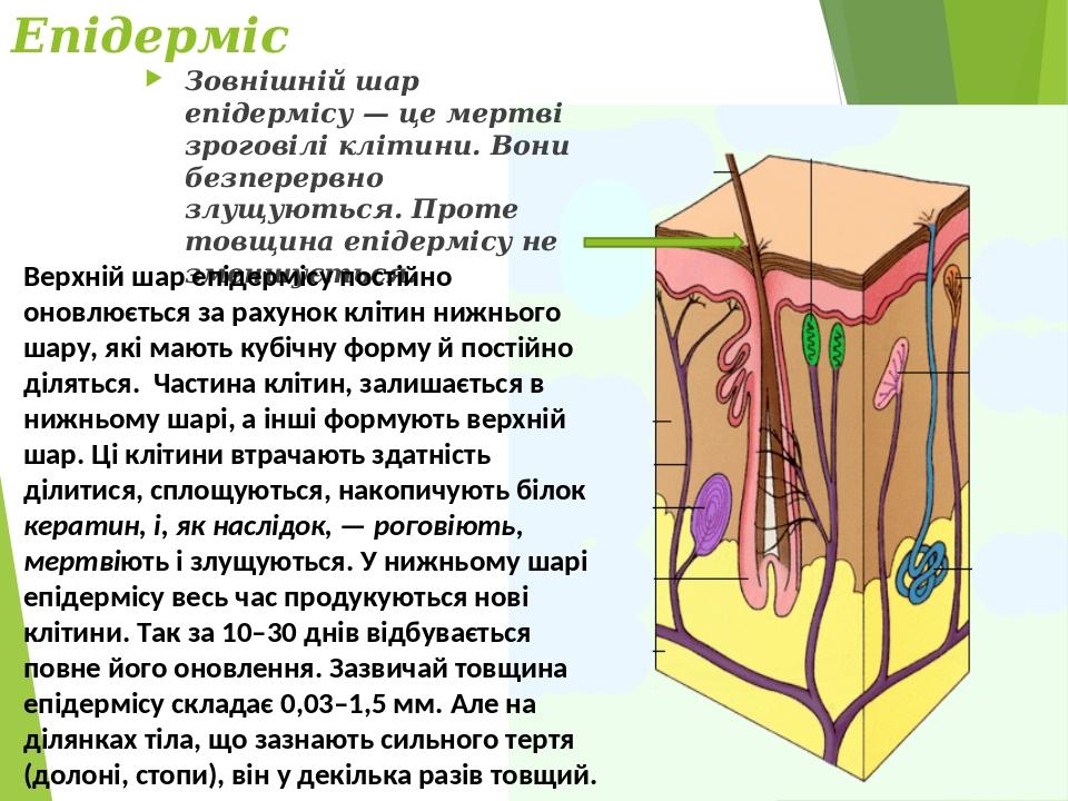 Епідерміс Зовнішній шар епідермісу — це мертві зроговілі клітини. Вони безперервно злущуються. Проте товщина епідермісу не зменшується. Верхній шар...