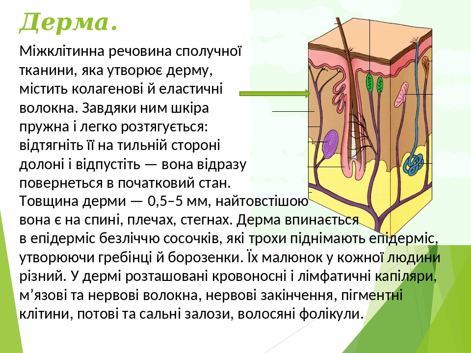 Дерма. Міжклітинна речовина сполучної тканини, яка утворює дерму, містить колагенові й еластичні волокна. Завдяки ним шкіра пружна і легко розтягує...