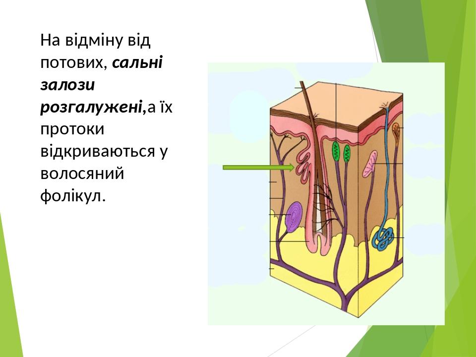 На відміну від потових, сальні залози розгалужені,а їх протоки відкриваються у волосяний фолікул.