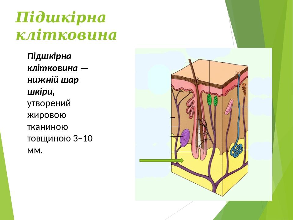 Підшкірна клітковина Підшкірна клітковина — нижній шар шкіри, утворений жировою тканиною товщиною 3–10 мм.