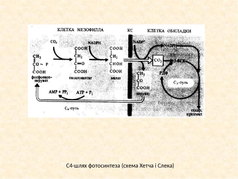 схема фотосинтеза отмечена буквой своём