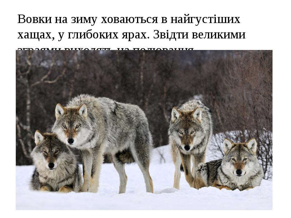 Вовки на зиму ховаються в найгустіших хащах, у глибоких ярах. Звідти великими зграями виходять на полювання.