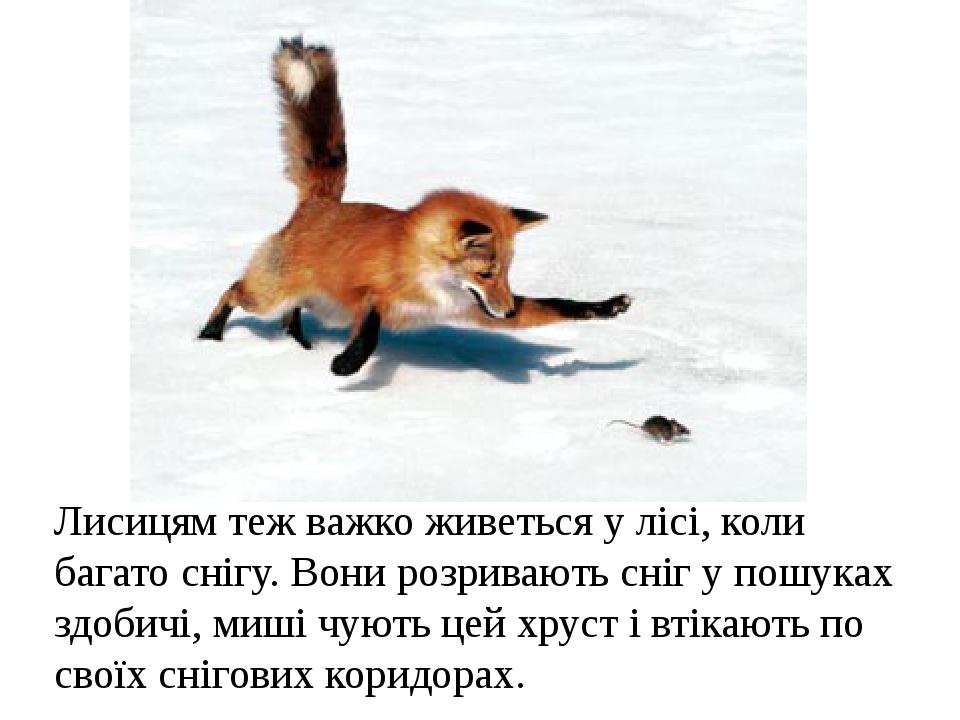 Лисицям теж важко живеться у лісі, коли багато снігу. Вони розривають сніг у пошуках здобичі, миші чують цей хруст і втікають по своїх снігових кор...