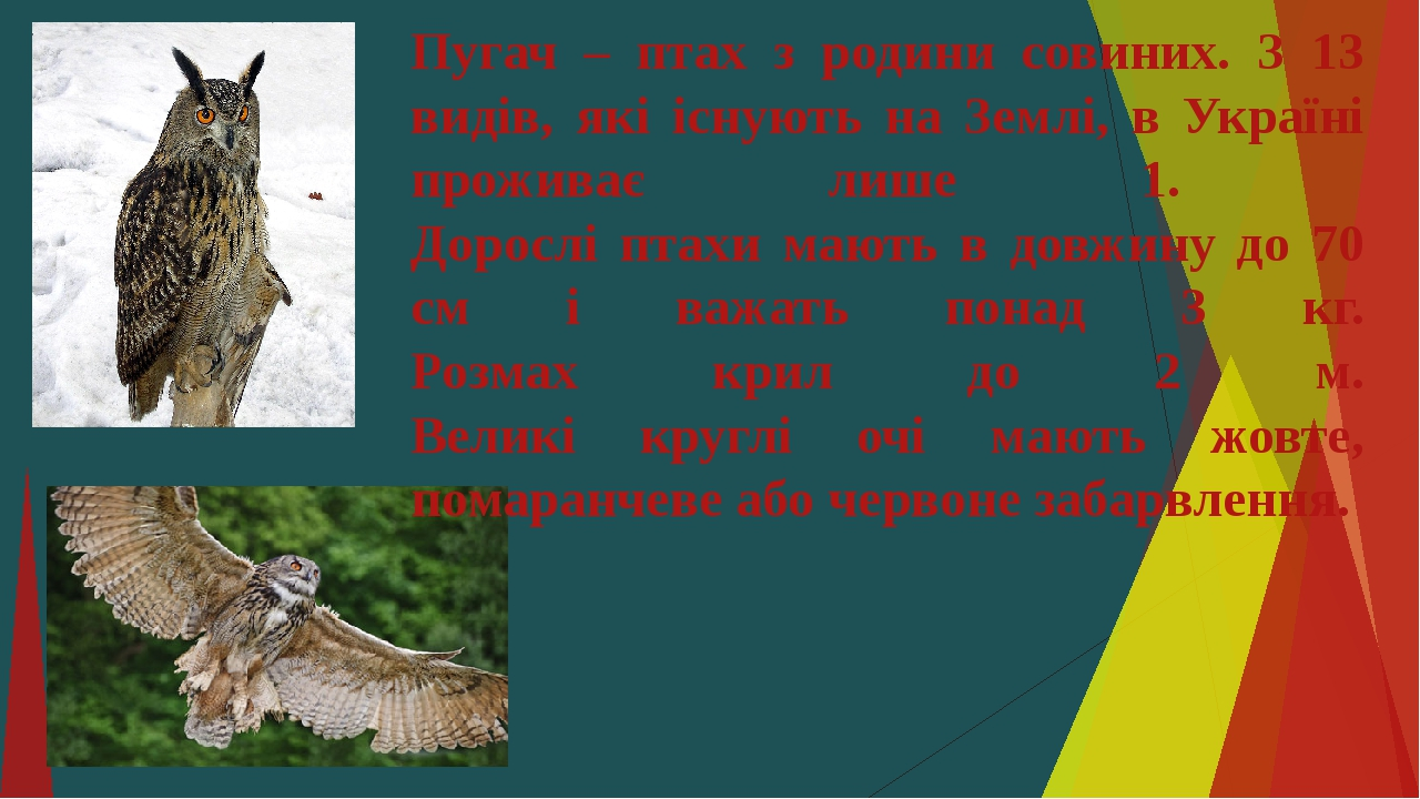 Пугач – птах з родини совиних. З 13 видів, які існують на Землі, в Україні проживає лише 1. Дорослі птахи мають в довжину до 70 см і важать понад 3...