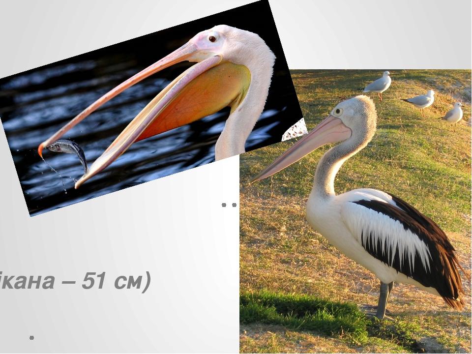 (У пелікана – 51 см)