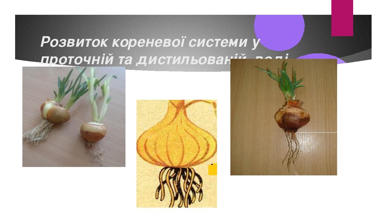 Розвиток кореневої системи у проточній та дистильованій воді