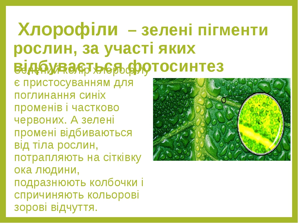 Хлорофіли – зелені пігменти рослин, за участі яких відбувається фотосинтез Зелений колір хлорофілу є пристосуванням для поглинання синіх променів і...