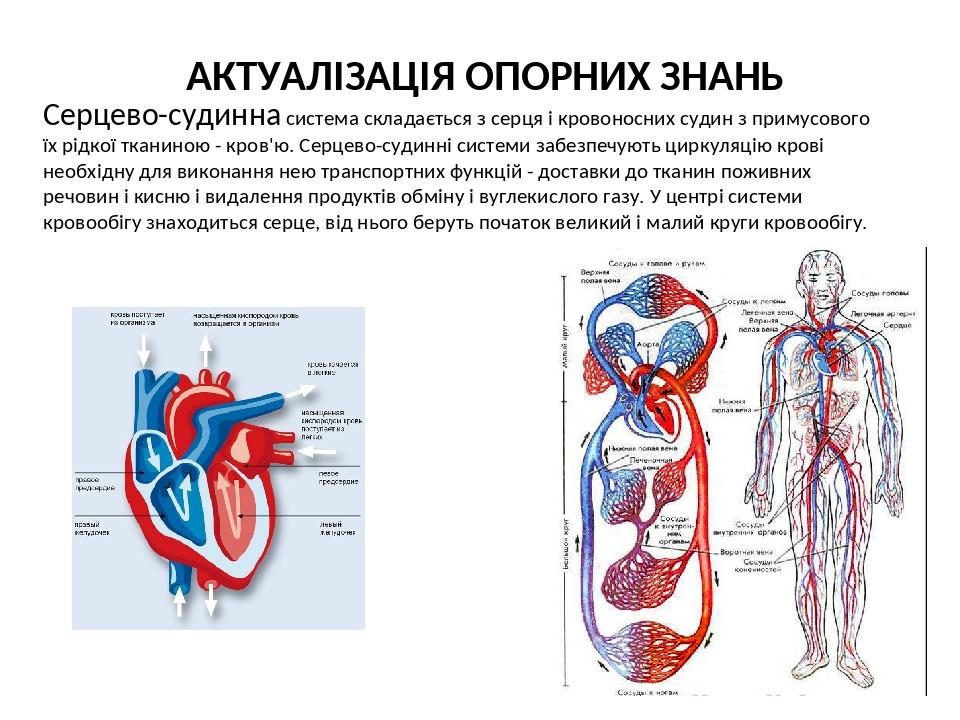 Серцево-судинна система складається з серця і кровоносних судин з примусового їх рідкої тканиною - кров'ю. Серцево-судинні системи забезпечують цир...