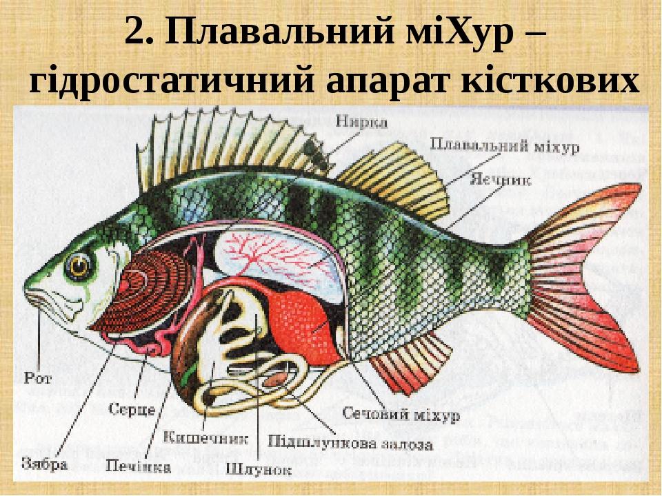2. Плавальний міХур – гідростатичний апарат кісткових риб