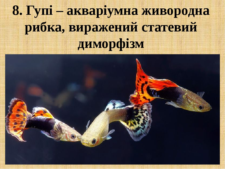 8. Гупі – акваріумна живородна рибка, виражений статевий диморфізм