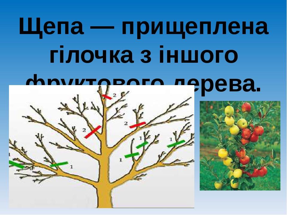 Щепа — прищеплена гілочка з іншого фруктового дерева.