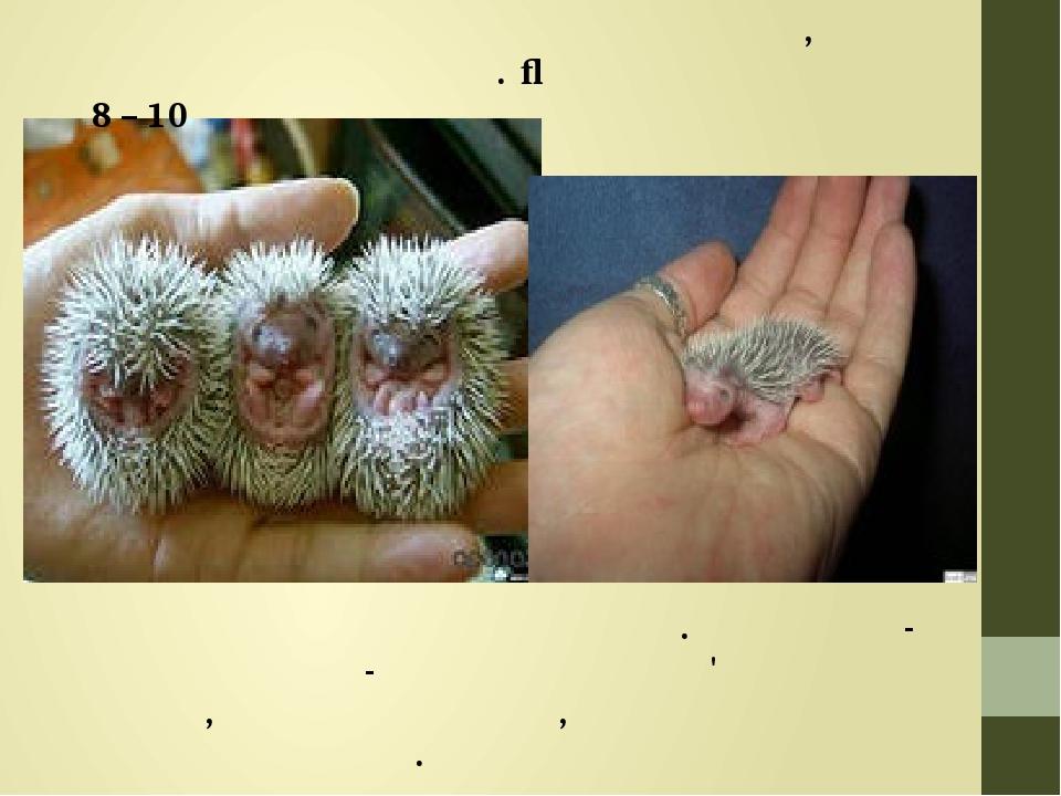 Розмножуються переважно раз на рік, на початку або серед літа. Їжачиха приводить до 8 – 10 їжаченят Новонароджені їжаченята сліпі. У малюків-їжачкі...