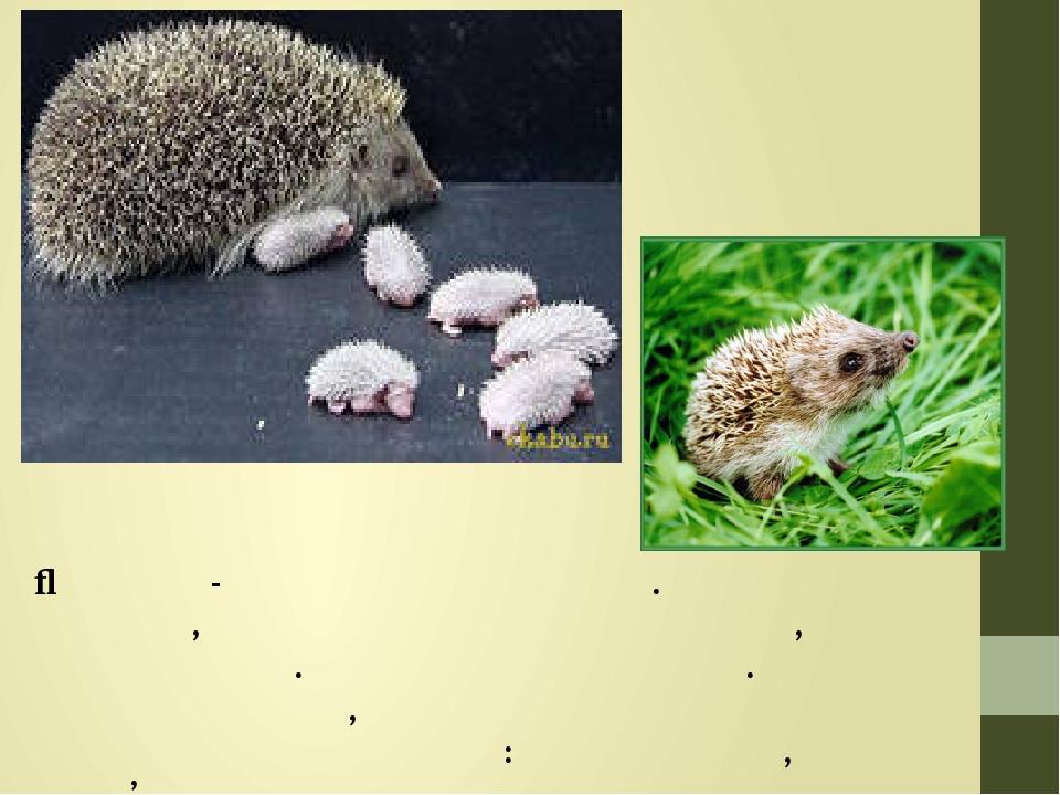 Їжачиха - дуже дбайлива мати. Для своїх діточок, вона вимощує гніздо із трави, сирого листя. Годує малят молоком. Коли вони підростіть, їжачиха раз...