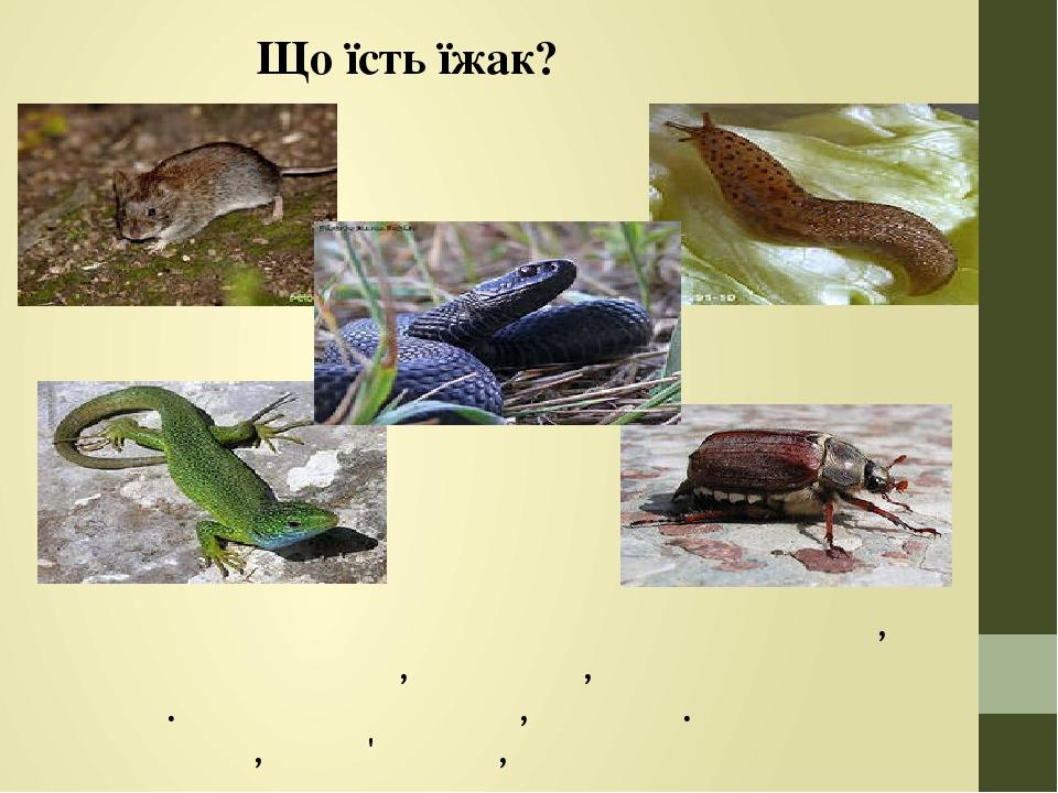 Що їсть їжак? Знищують шкідливих комах та їх личинки, воюють зі щурами, мишами, отруйними зміями. Полюють на жаб, ящірок. Харчуються слимаками, чер...