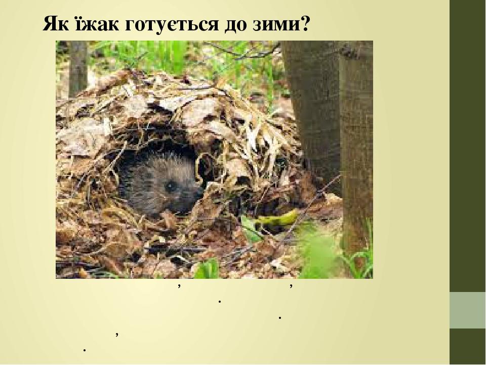 Як їжак готується до зими? Під корінням дерев, купами хмизу, в норах їжаки влаштовують собі гніздо. З приходом холодів вони впадають у зимову спляч...