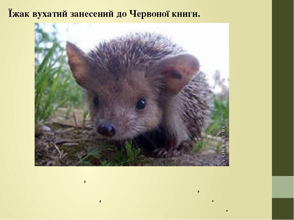 Їжак вухатий занесений до Червоної книги. Має великі вуха, бігає швидше звичайного й при небезпеці неохоче скручується в клубок, а частіше намагаєт...