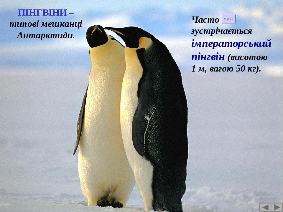 ПІНГВІНИ – типові мешканці Антарктиди. Часто зустрічається імператорський пінгвін (висотою 1 м, вагою 50 кг). Video