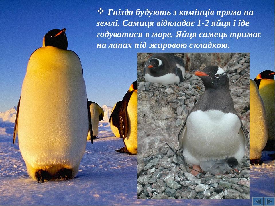 Гнізда будують з камінців прямо на землі. Самиця відкладає 1-2 яйця і іде годуватися в море. Яйця самець тримає на лапах під жировою складкою.