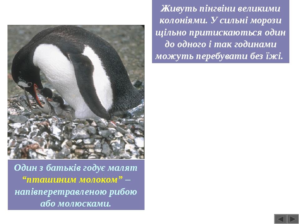 Живуть пінгвіни великими колоніями. У сильні морози щільно притискаються один до одного і так годинами можуть перебувати без їжі. Один з батьків го...
