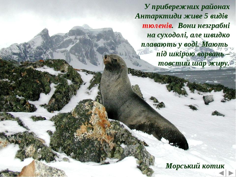 У прибережних районах Антарктиди живе 5 видів тюленів. Вони незграбні на суходолі, але швидко плавають у воді. Мають під шкірою ворвань – товстий ш...