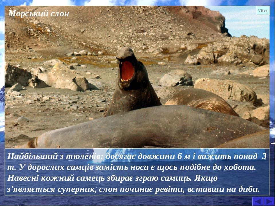 Найбільший з тюленів: досягає довжини 6 м і важить понад 3 т. У дорослих самців замість носа є щось подібне до хобота. Навесні кожний самець збирає...